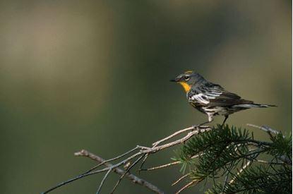 Picture of Bird Walk: Foothills Birding
