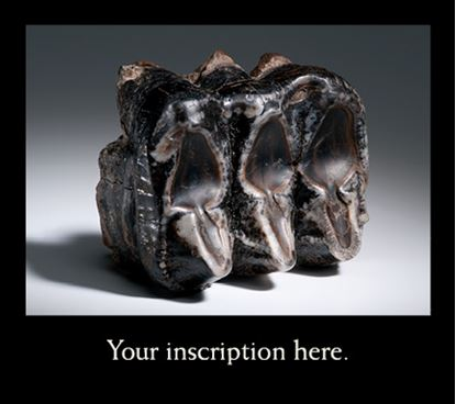 Picture of Mastodon Tooth