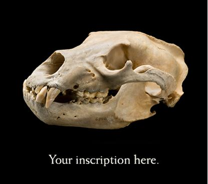 Picture of Skull of Last Grizzly in Colorado