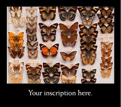 Picture of Drawer of Butterflies
