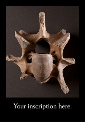 Picture of Fossil Bison Vertebra