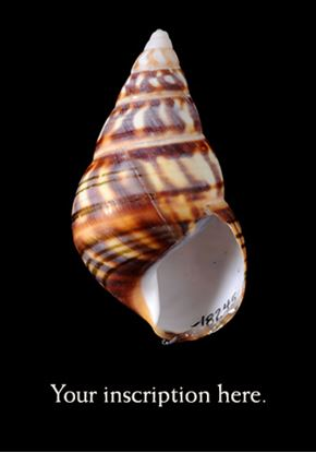 Picture of Shell, Florida Tree Snail, dark