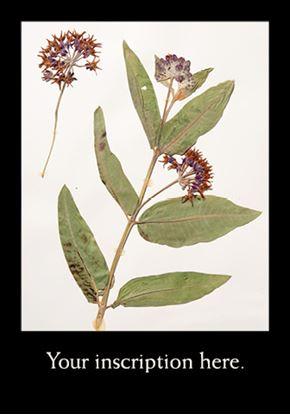 Picture of Herbarium Sheet, Licorice Fern