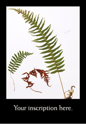 Picture of Herbarium Sheet, Showy Milkweed