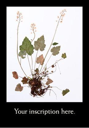 Picture of Herbarium Sheet, Foamflower