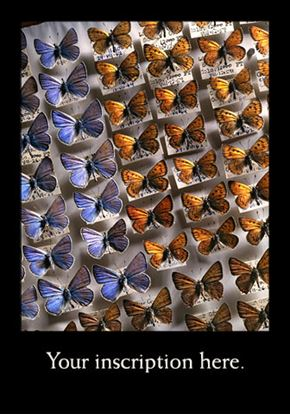 Picture of Donald Phillipson butterfly collection
