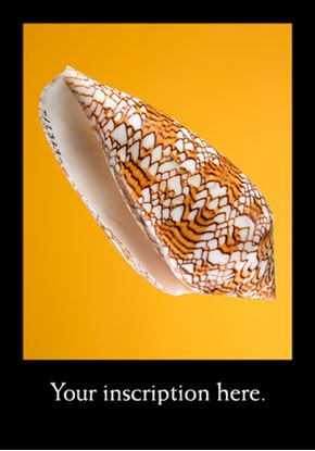 Picture of Shell, Conus Textile