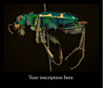 Picture of Tiger Beetle, male