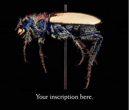 Picture of Tiger Beetle, female