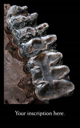 Picture of American Mastodon Teeth