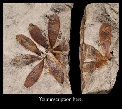 Picture of Fossil Leaf, Cycadales