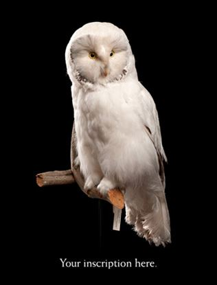 Picture of Albino Grey Owl