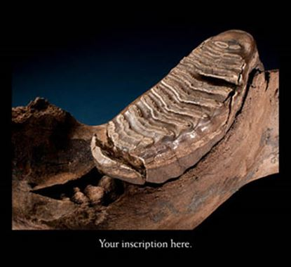 Picture of Mammoth Jaw and Tooth