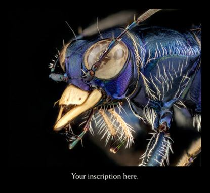 Picture of Tiger Beetle, Composite