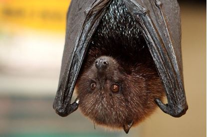Picture of Live Bats! For Families - 2:00 p.m.