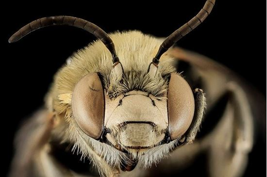 Picture of Native Bees and the Fight to Save Them