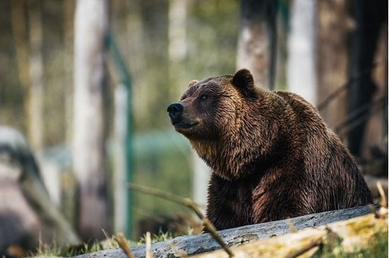 Picture of One of Us: A Biologist's Walk Among Bears