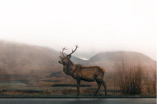 Picture of Elk Bugling