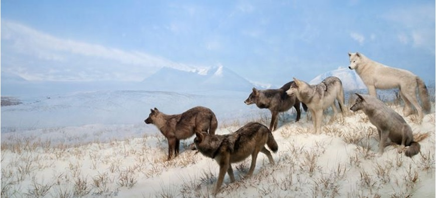 Picture of To Howl or Not to Howl: The Legend, Myth, and Evolution of Wolves and Their Kin